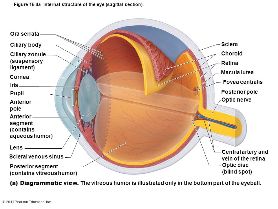 © 2013 Pearson Education, Inc. Figure 15.4a Internal structure of the eye (sagittal section). Ora serrata Ciliary body Ciliary zonule (suspensory liga