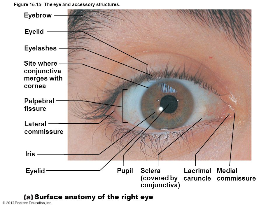 © 2013 Pearson Education, Inc. Eyebrow Eyelid Eyelashes Site where conjunctiva merges with cornea Palpebral fissure Lateral commissure Iris Eyelid Sur