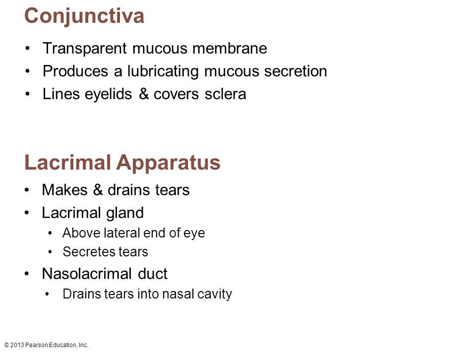 © 2013 Pearson Education, Inc. Conjunctiva Transparent mucous membrane Produces a lubricating mucous secretion Lines eyelids & covers sclera Lacrimal