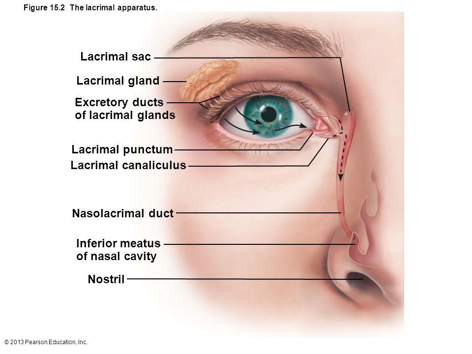 © 2013 Pearson Education, Inc. Figure 15.2 The lacrimal apparatus. Lacrimal sac Lacrimal gland Excretory ducts of lacrimal glands Lacrimal punctum Lac