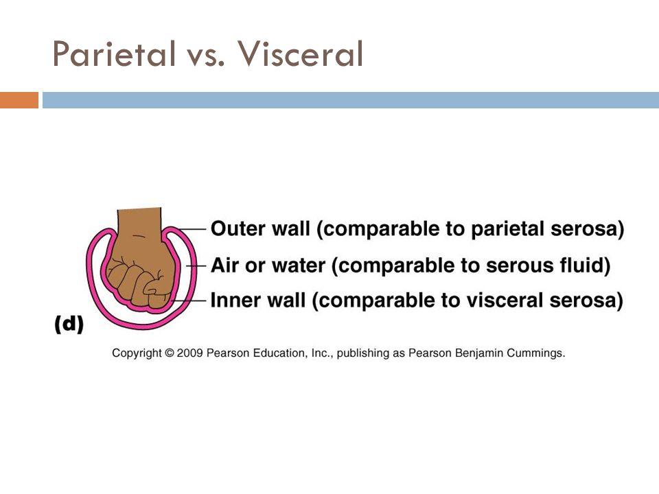 Parietal vs. Visceral