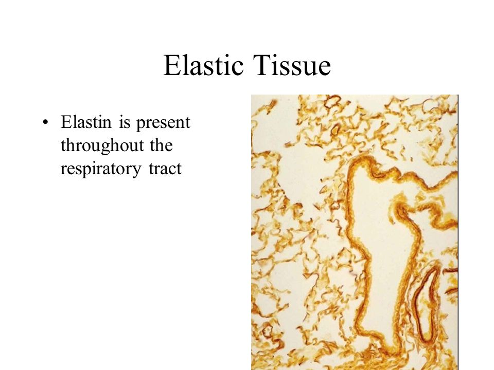 Elastic Tissue Elastin is present throughout the respiratory tract