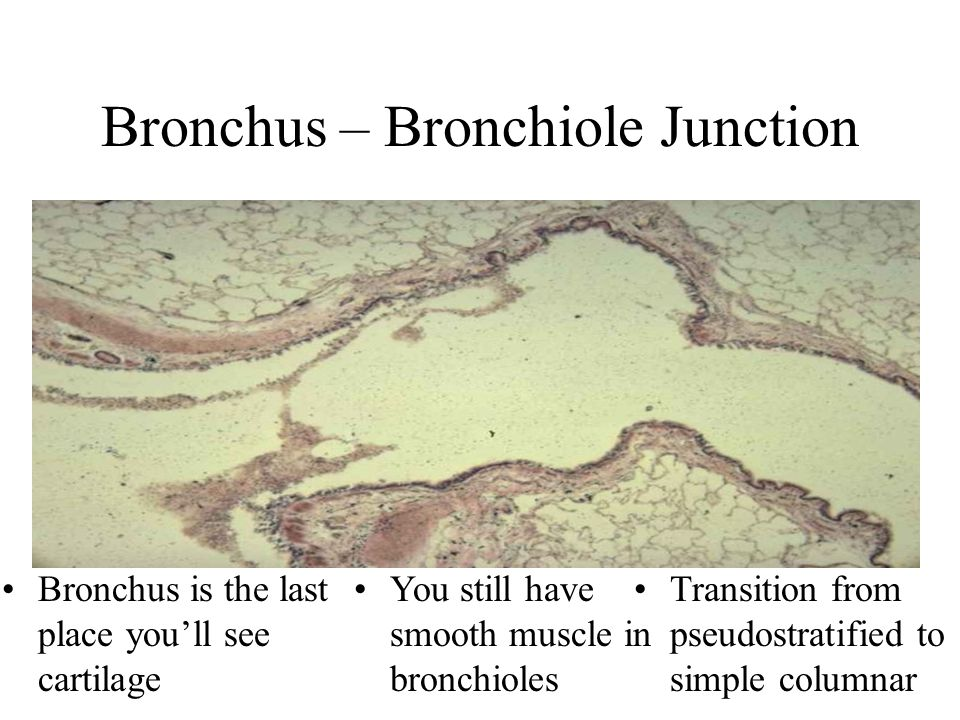 Bronchus – Bronchiole Junction Bronchus is the last place you'll see cartilage You still have smooth muscle in bronchioles Transition from pseudostratified to simple columnar