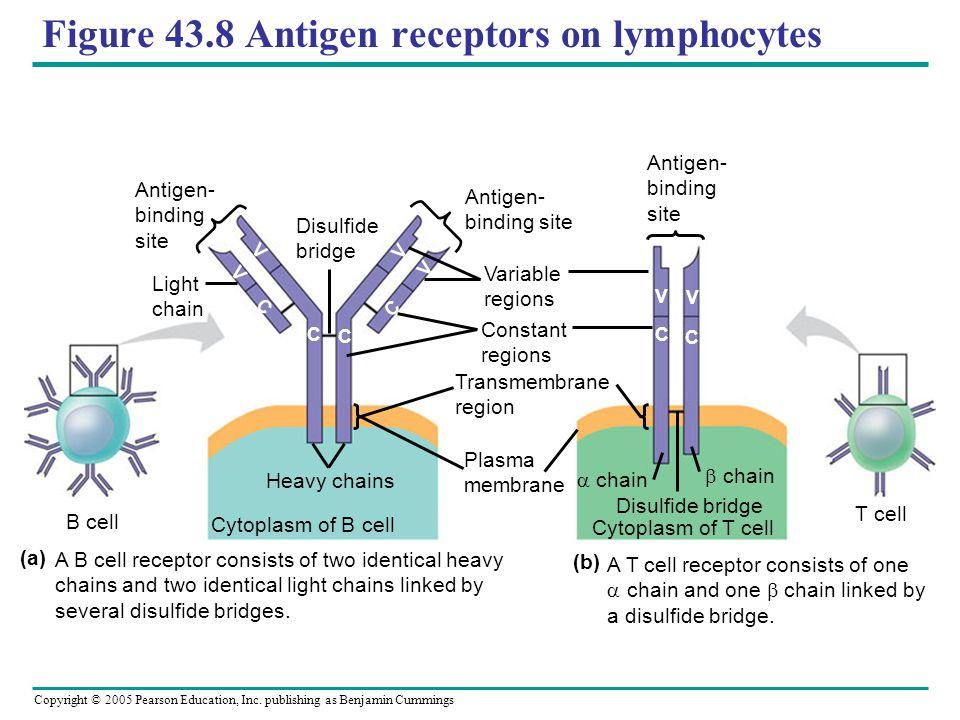 Copyright © 2005 Pearson Education, Inc. publishing as Benjamin Cummings Figure 43.8 Antigen receptors on lymphocytes Antigen- binding site Antigen- b