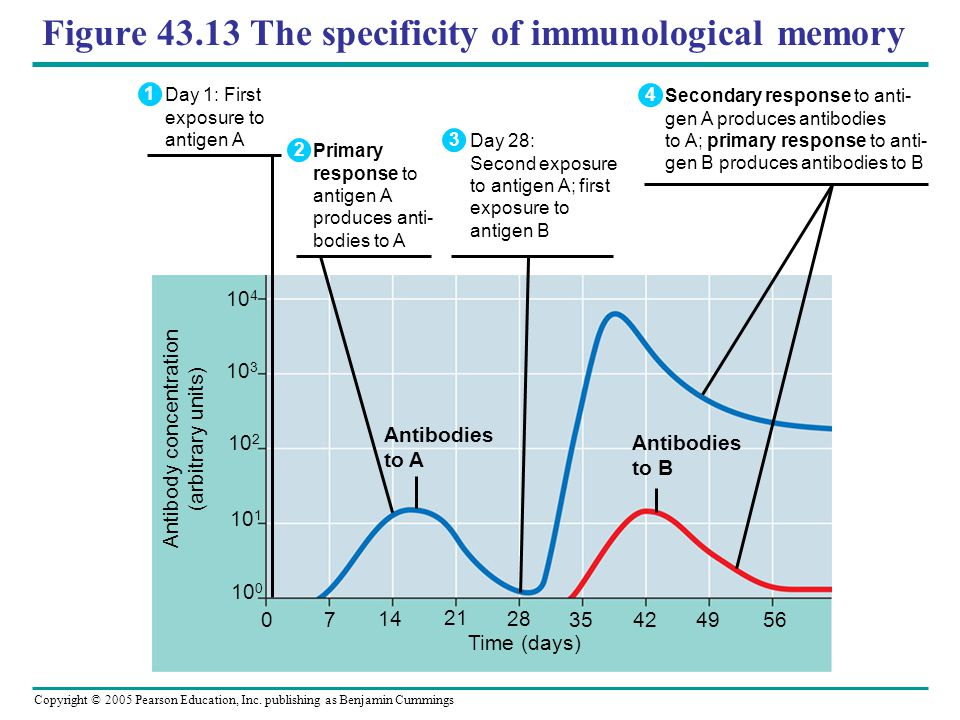 Copyright © 2005 Pearson Education, Inc. publishing as Benjamin Cummings Figure 43.13 The specificity of immunological memory Antibodies to A Antibodi
