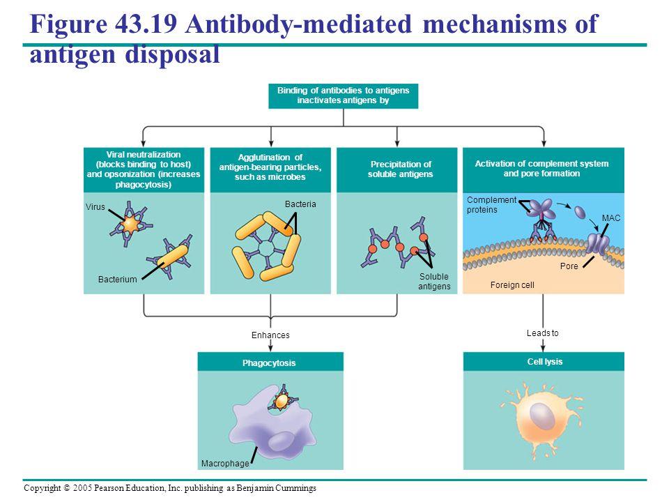 Copyright © 2005 Pearson Education, Inc. publishing as Benjamin Cummings Figure 43.19 Antibody-mediated mechanisms of antigen disposal Binding of anti
