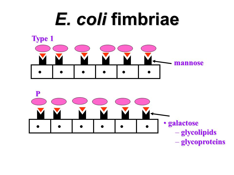 E. coli fimbriae mannose Type 1 galactose galactose – glycolipids – glycoproteins P