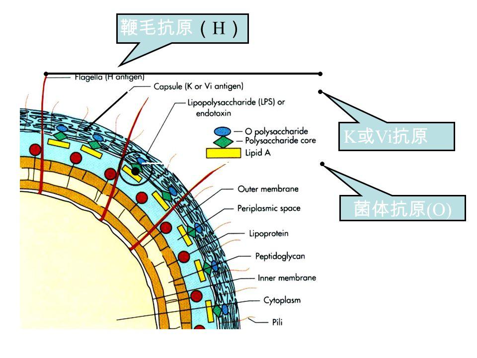 鞭毛抗原( H ) 菌体抗原 (O) K 或 Vi 抗原