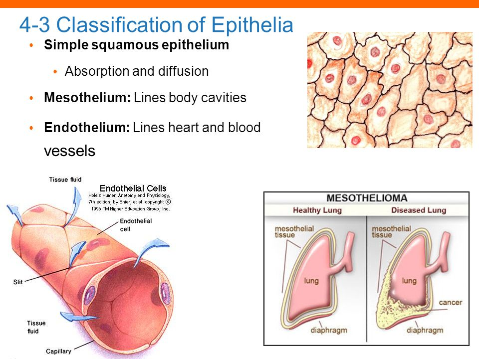 © 2012 Pearson Education, Inc. 4-3 Classification of Epithelia Simple squamous epithelium Absorption and diffusion Mesothelium: Lines body cavities En