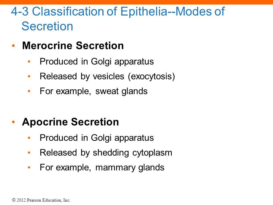 © 2012 Pearson Education, Inc. 4-3 Classification of Epithelia--Modes of Secretion Merocrine Secretion Produced in Golgi apparatus Released by vesicle