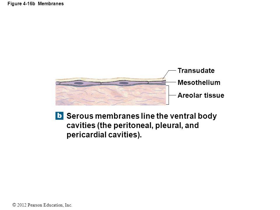 © 2012 Pearson Education, Inc. Figure 4-16b Membranes Serous membranes line the ventral body cavities (the peritoneal, pleural, and pericardial caviti