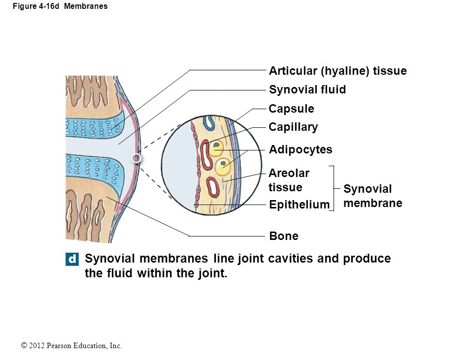 © 2012 Pearson Education, Inc. Figure 4-16d Membranes Synovial membranes line joint cavities and produce the fluid within the joint. Articular (hyalin