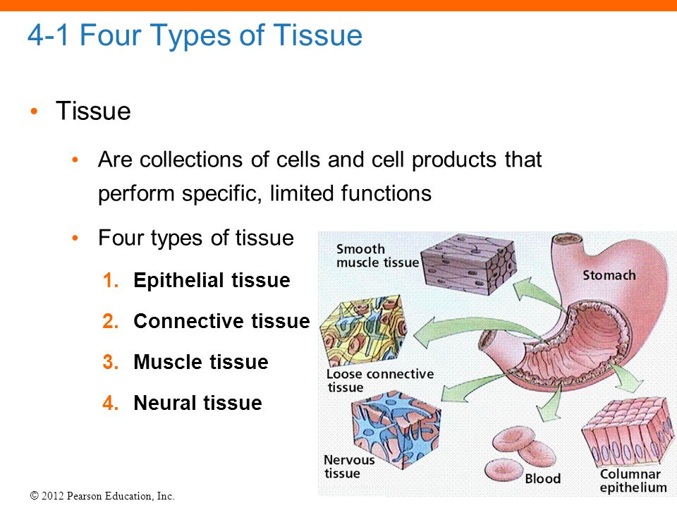 © 2012 Pearson Education, Inc. 4-1 Four Types of Tissue Tissue Are collections of cells and cell products that perform specific, limited functions Fou