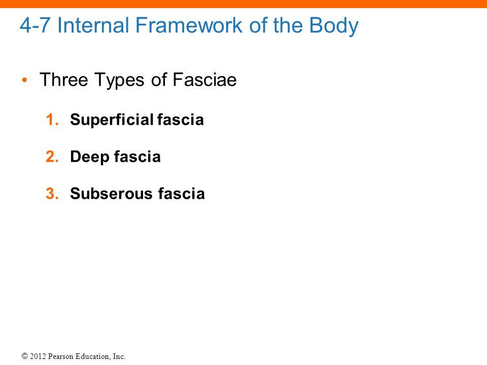 © 2012 Pearson Education, Inc. 4-7 Internal Framework of the Body Three Types of Fasciae 1.Superficial fascia 2.Deep fascia 3.Subserous fascia