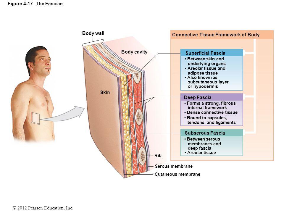 © 2012 Pearson Education, Inc. Figure 4-17 The Fasciae Body wall Body cavity Skin Connective Tissue Framework of Body Superficial Fascia Deep Fascia S