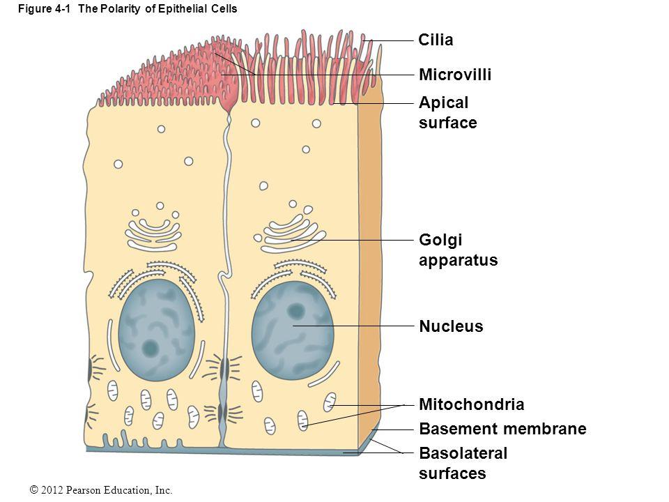 © 2012 Pearson Education, Inc. Figure 4-1 The Polarity of Epithelial Cells Cilia Microvilli Apical surface Golgi apparatus Nucleus Mitochondria Baseme