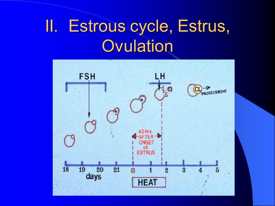 II. Estrous cycle, Estrus, Ovulation