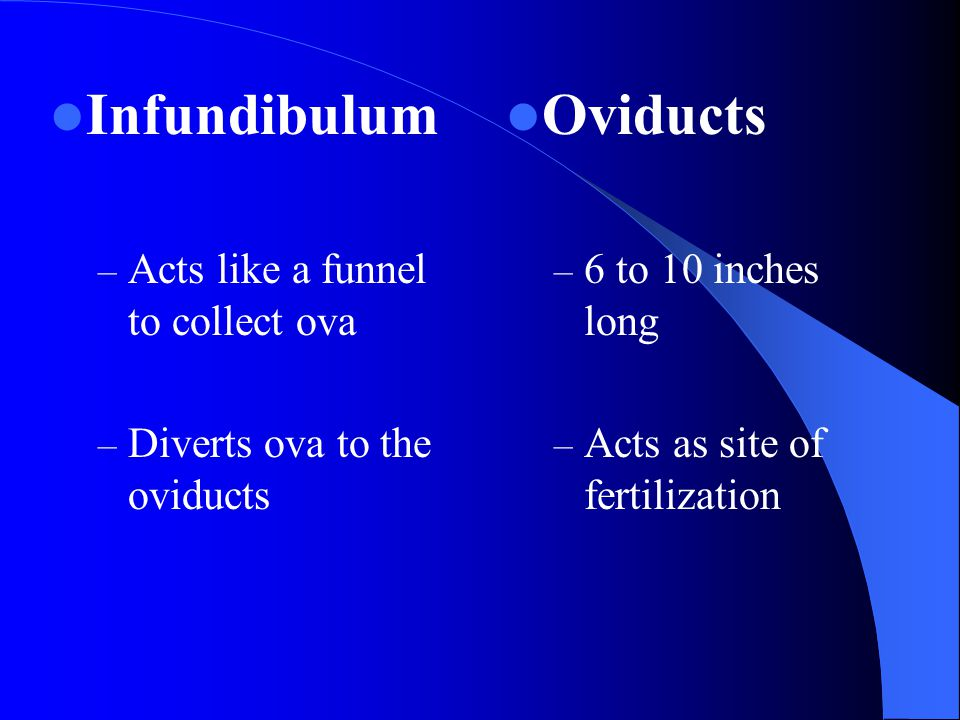 Infundibulum – Acts like a funnel to collect ova – Diverts ova to the oviducts Oviducts – 6 to 10 inches long – Acts as site of fertilization