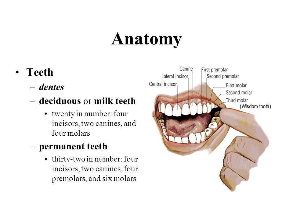 Anatomy Teeth –dentes –deciduous or milk teeth twenty in number: four incisors, two canines, and four molars –permanent teeth thirty-two in number: fo
