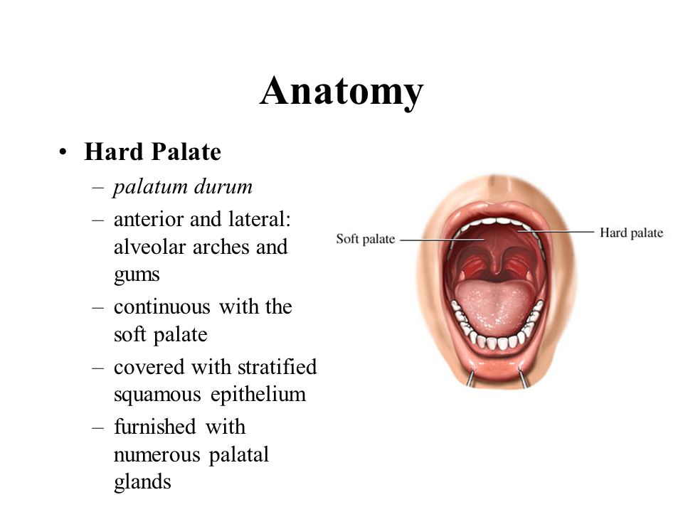 Anatomy Hard Palate –palatum durum –anterior and lateral: alveolar arches and gums –continuous with the soft palate –covered with stratified squamous