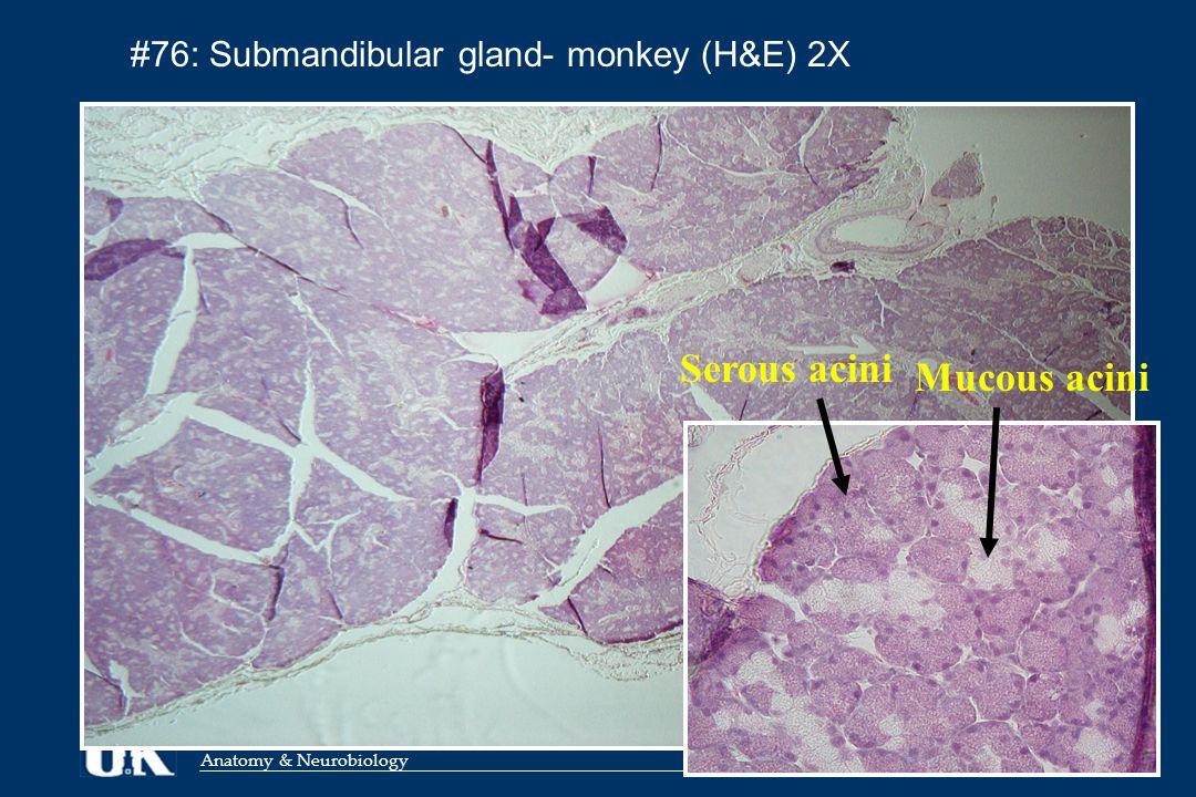 Anatomy & Neurobiology #76: Submandibular gland- monkey (H&E) 2X Serous acini Mucous acini