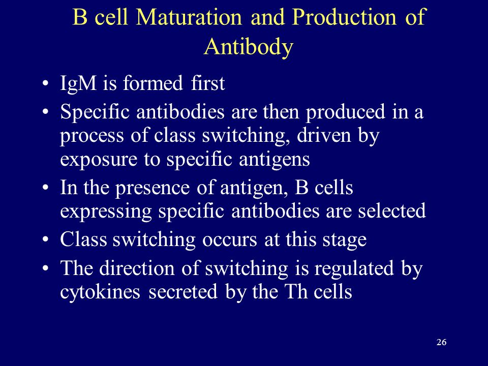 26 B cell Maturation and Production of Antibody IgM is formed first Specific antibodies are then produced in a process of class switching, driven by exposure to specific antigens In the presence of antigen, B cells expressing specific antibodies are selected Class switching occurs at this stage The direction of switching is regulated by cytokines secreted by the Th cells