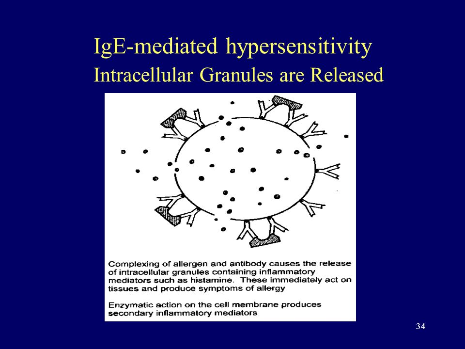 34 IgE-mediated hypersensitivity Intracellular Granules are Released