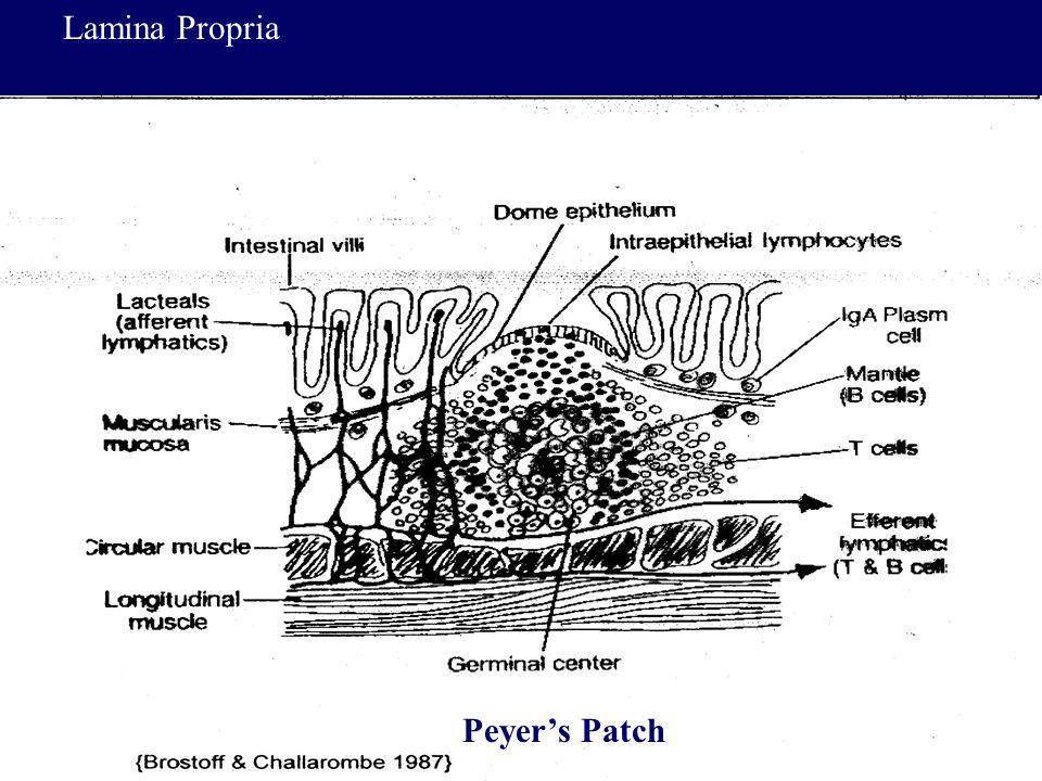 48 Peyer's Patch Lamina Propria