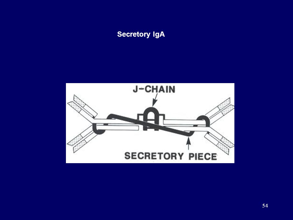 54 Secretory IgA