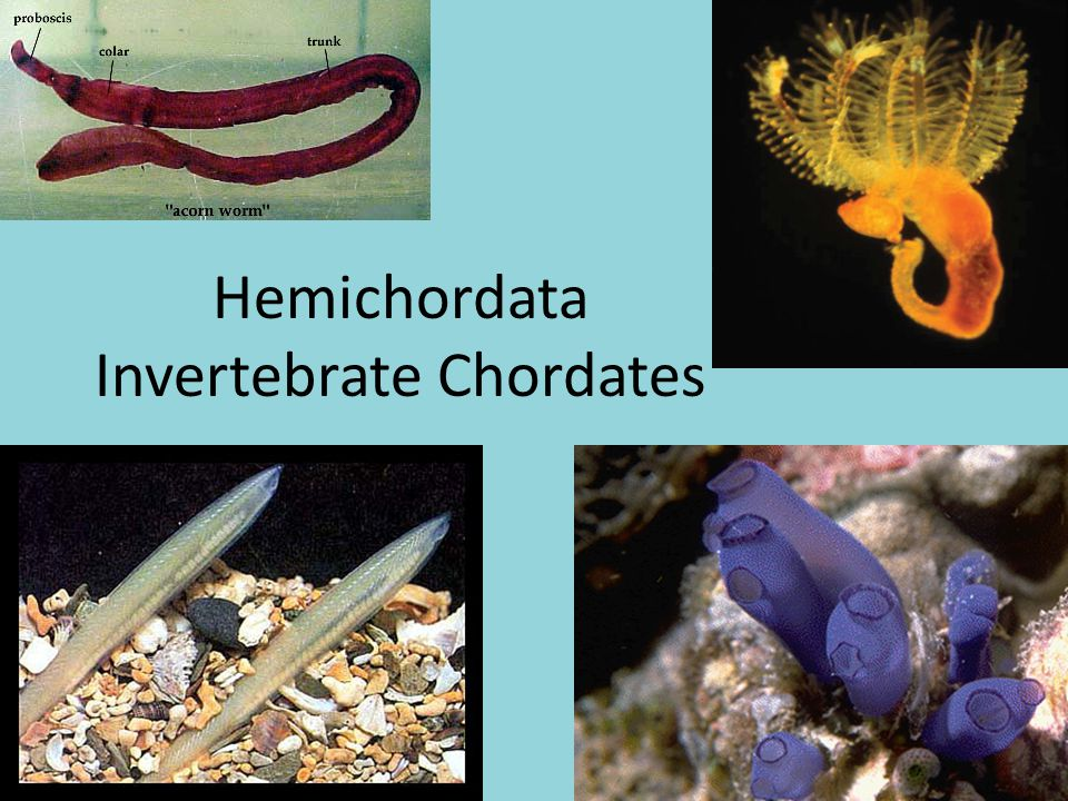 Evolutionary Perspective Echinoderms, Hemichordates, and Chordates are most likely derived from a common (yet undiscovered) ancestor, since they all share deuterostome characteristics.