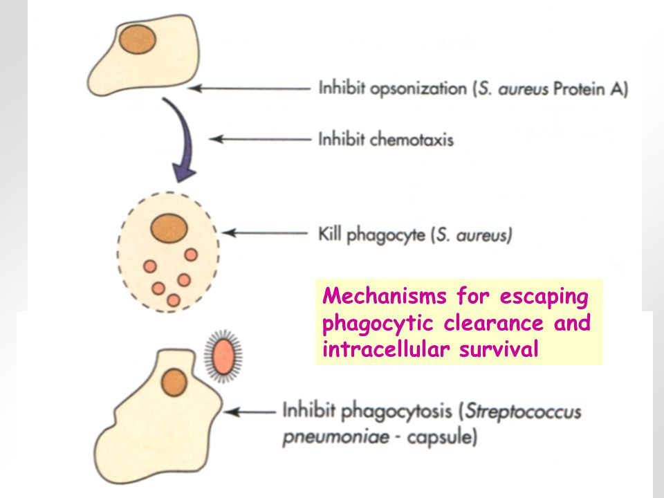 Mechanisms for escaping phagocytic clearance and intracellular survival
