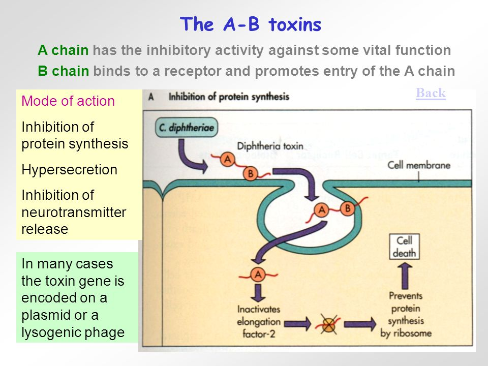 The A-B toxins Mode of action Inhibition of protein synthesis Hypersecretion Inhibition of neurotransmitter release A chain has the inhibitory activity against some vital function B chain binds to a receptor and promotes entry of the A chain In many cases the toxin gene is encoded on a plasmid or a lysogenic phage Back