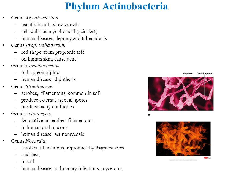 Phylum Actinobacteria Genus Mycobacterium –usually bacilli, slow growth –cell wall has mycolic acid (acid fast) –human diseases: leprosy and tuberculo