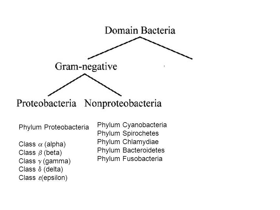 Phylum Cyanobacteria Phylum Spirochetes Phylum Chlamydiae Phylum Bacteroidetes Phylum Fusobacteria Phylum Proteobacteria Class  (alpha) Class  (beta