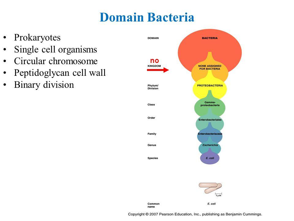 Domain Bacteria Prokaryotes Single cell organisms Circular chromosome Peptidoglycan cell wall Binary division no