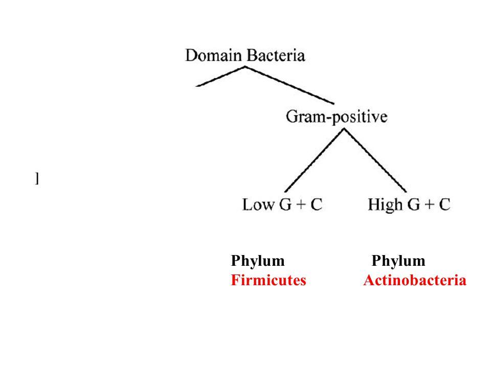 Phylum Firmicutes Actinobacteria