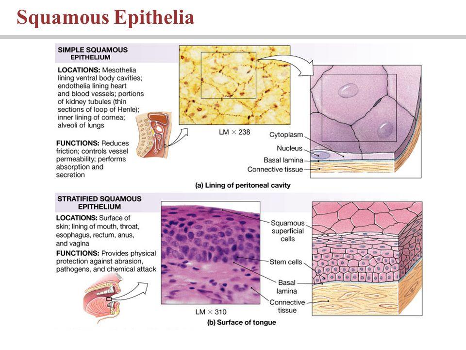 Squamous Epithelia