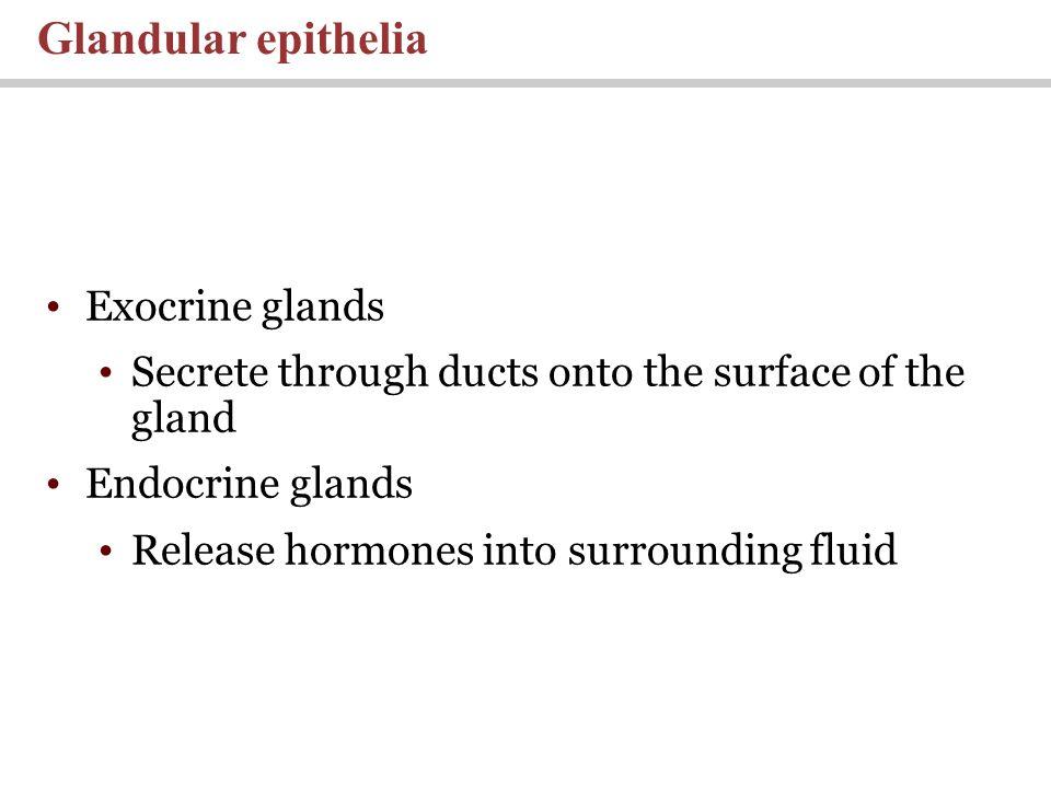 Exocrine glands Secrete through ducts onto the surface of the gland Endocrine glands Release hormones into surrounding fluid Glandular epithelia