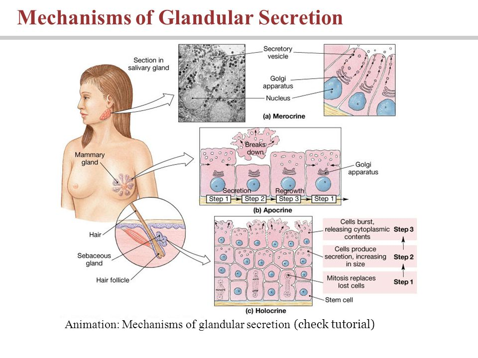 Mechanisms of Glandular Secretion Animation: Mechanisms of glandular secretion (check tutorial)