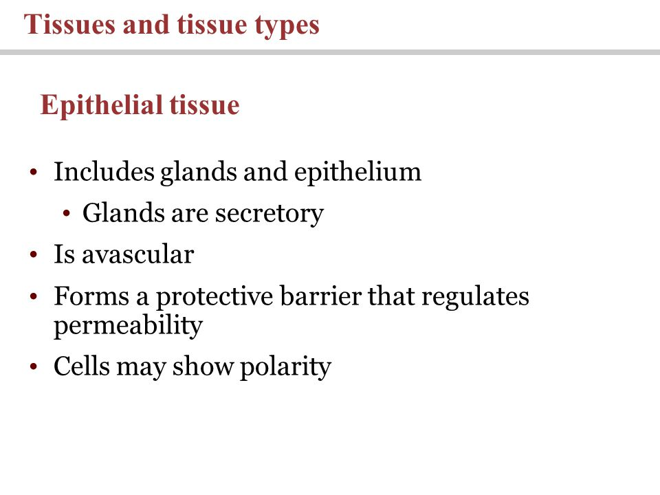 Includes glands and epithelium Glands are secretory Is avascular Forms a protective barrier that regulates permeability Cells may show polarity Tissues and tissue types Epithelial tissue