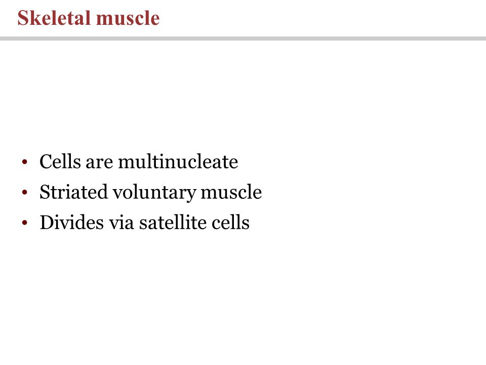 Cells are multinucleate Striated voluntary muscle Divides via satellite cells Skeletal muscle