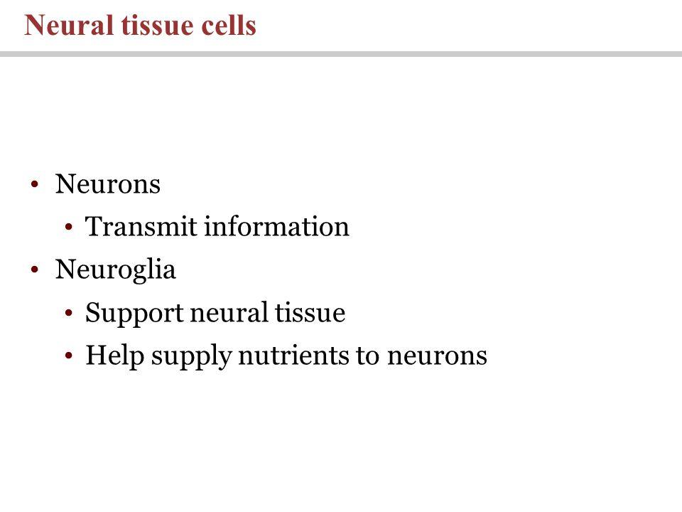 Neurons Transmit information Neuroglia Support neural tissue Help supply nutrients to neurons Neural tissue cells