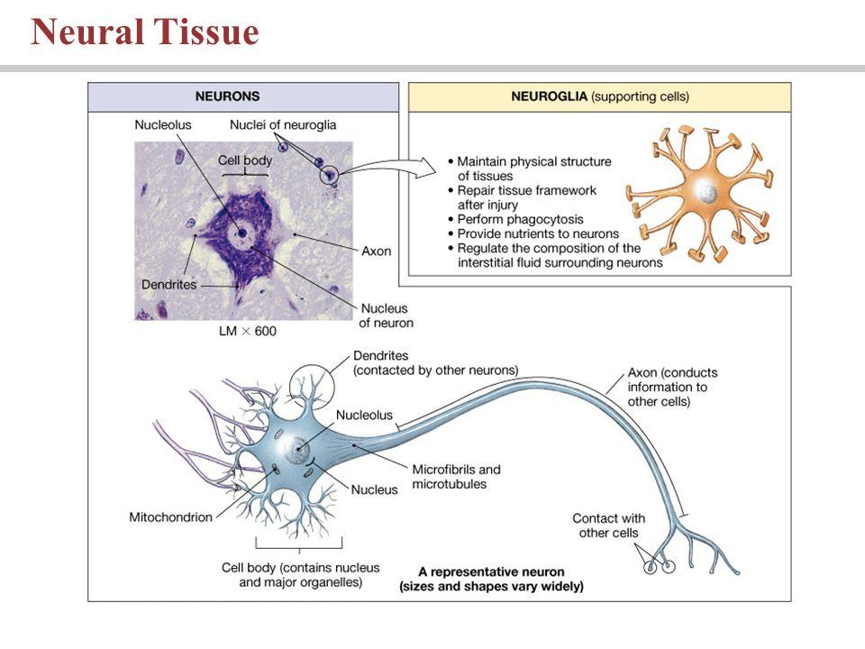 Neural Tissue