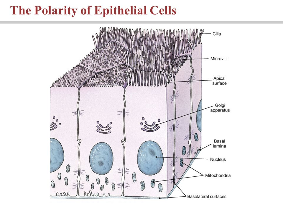 The Polarity of Epithelial Cells