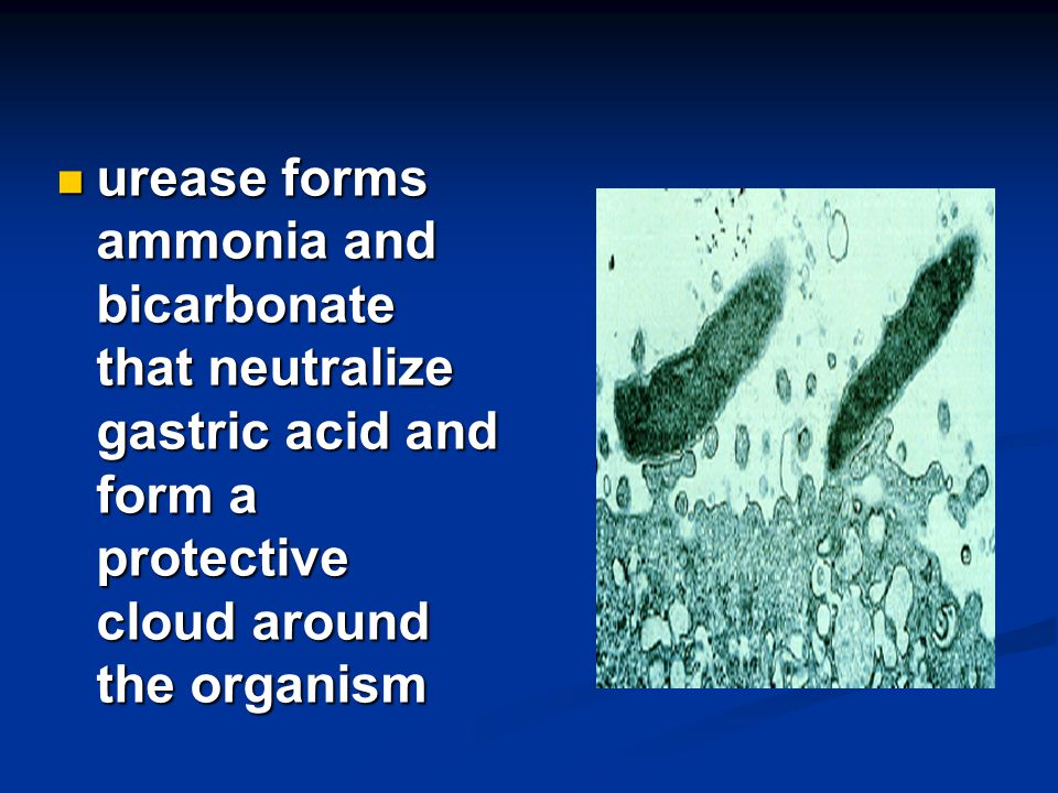 urease forms ammonia and bicarbonate that neutralize gastric acid and form a protective cloud around the organism urease forms ammonia and bicarbonate