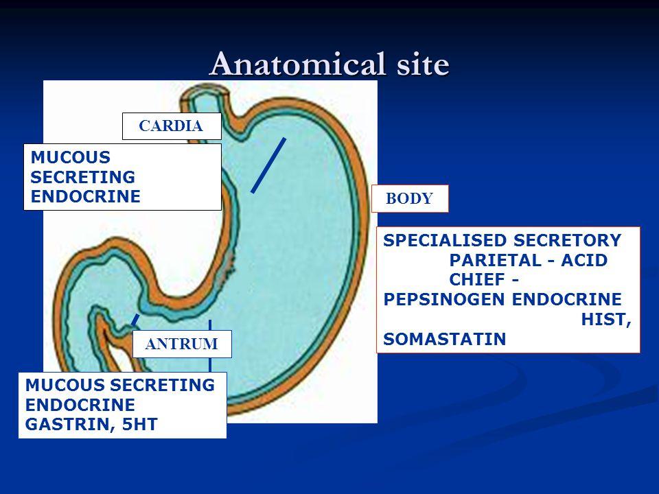 Anatomical site ANTRUM CARDIA BODY MUCOUS SECRETING ENDOCRINE SPECIALISED SECRETORY PARIETAL - ACID CHIEF - PEPSINOGEN ENDOCRINE HIST, SOMASTATIN MUCO