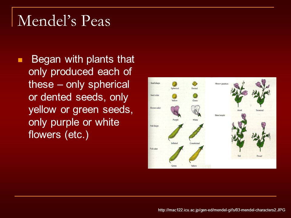 Mendel's Peas Began with plants that only produced each of these – only spherical or dented seeds, only yellow or green seeds, only purple or white fl