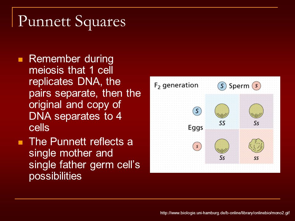 Punnett Squares Remember during meiosis that 1 cell replicates DNA, the pairs separate, then the original and copy of DNA separates to 4 cells The Punnett reflects a single mother and single father germ cell's possibilities http://www.biologie.uni-hamburg.de/b-online/library/onlinebio/mono2.gif