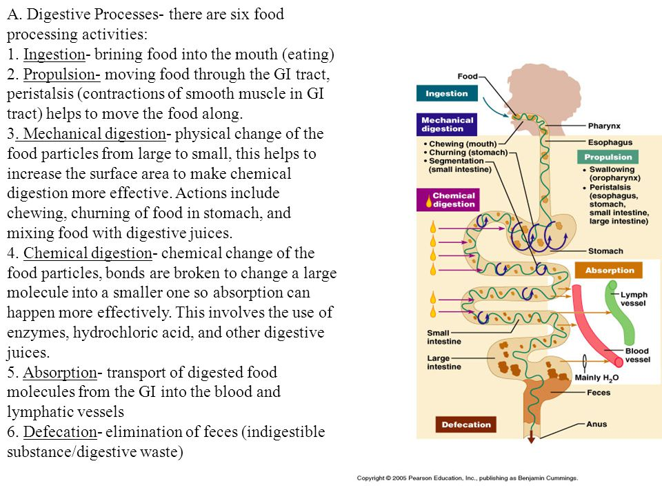 A.Digestive Processes- there are six food processing activities: 1.