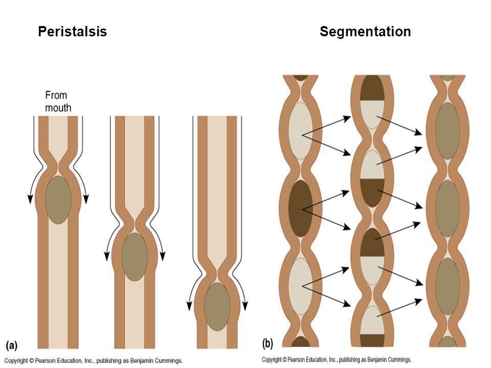 Peristalsis Segmentation